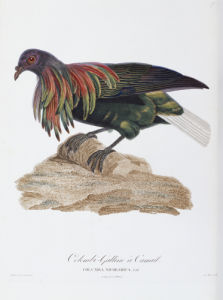 Columba Nicobarica from 'Les Pigeons', 1809 by Christie's Images