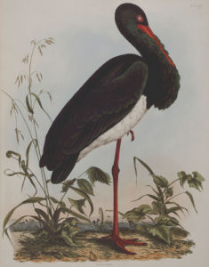 Black Stork, Plate From 'Illustrations Of British Ornithology', 1841. by John Prideaux Selby