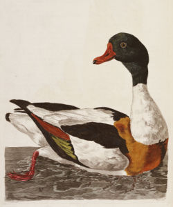 A Duck, The British Zoology, 1766 by Thomas Pennant
