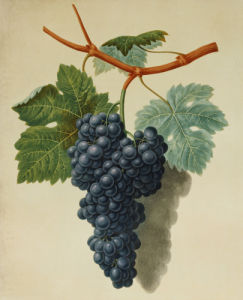 Black Muscadine Grapes from 'Pomona Britannica', 1812. by George Brookshaw