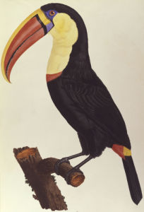 Le Toucan by Francois Le Vaillant