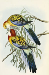 Eastern Rosella, from 'The Birds Of Australia', 1840 by John Gould