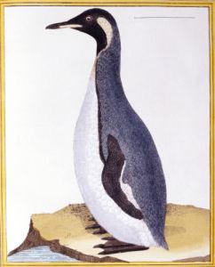 A Penguin, Falkland Islands, From 'Histoire Naturelle Des Oiseaux' by George Louis Leclerc Buffon