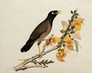 A Minah Bird Perched On A Flowering Branch. Calcutta School, Circa 1800 by Christie's Images