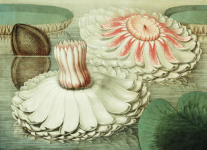 Victoria Regia Or The Great Water Lily Of America, 1854 by William Sharp