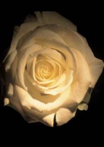 White Rose by Michael Williams