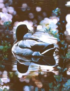 Mallard by James Knowles