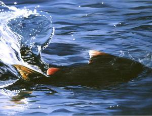 Salmon Splash by James Knowles