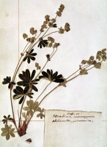 Alchemilla from a Herbarium by Jean Jacques Rousseau