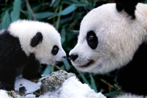 Pandas by Maxi
