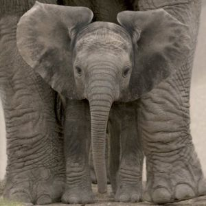 Big Ears (Baby Elephant) by Anonymous