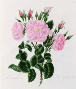 Rosa Damascena Bifera or Autumn Damask Rose by Mary Lawrance