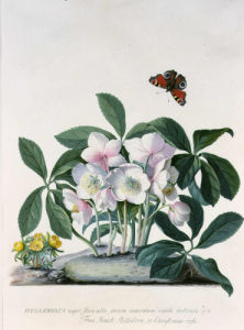 Helleborus Niger or Christmas Rose by Georg Dionysus Ehret