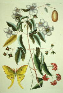 Philadelphus Inodorus or Mock Orange, 1843 by Mark Catesby