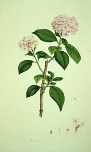 Hydrangea Hortensis, from Icones Pictae Plantarum Rariorum, 1790 by James Sowerby
