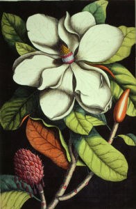 Magnolia Altissima, 1843 by Mark Catesby