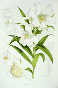 Lilium longiflorum, from Monograph of Genus Lilium by Walter Hood Fitch