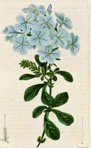 Plumbago auriculata or leadwort, engraving by Pancrace Bessa