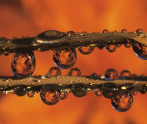 Close-up of dewdrops reflecting Japanese maple leaves on blades of grass by Danita Delimont