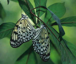 Japanese Kite Butterflies Mating by Danita Delimont