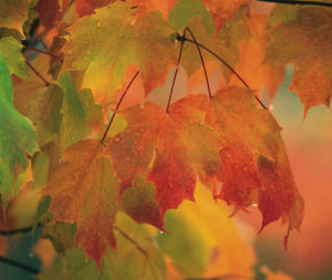 Maple leaves in rain by Danita Delimont