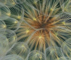 Dandelion seed head close-up by Danita Delimont