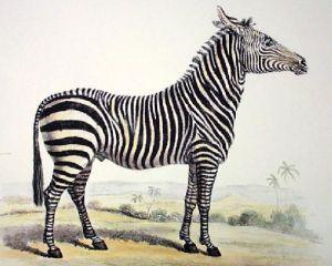 Zebra (Restrike Etching) by Anonymous