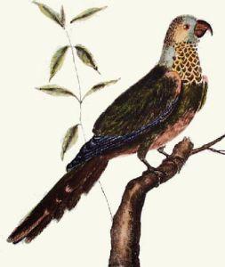 Exotic Bird - Perruche Gorge (Restrike Etching) by Martinet