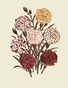 Carnations - Dianthus (Restrike Etching) by Anonymous