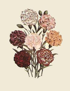 Carnations - Oeillets (Restrike Etching) by Anonymous