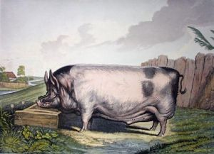 British Boar (large) (Restrike Etching) by Sir Edwin Henry Landseer