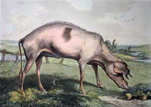 French Hog (large) (Restrike Etching) by Sir Edwin Henry Landseer