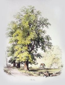 Elm Tree (Restrike Etching) by Elizabeth Barnard