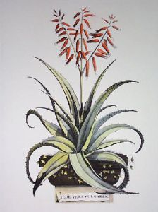 Aloe Vera - Vulgaris (Restrike Etching) by Anonymous