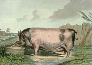 British Boar (Restrike Etching) by Sir Edwin Henry Landseer