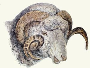 Rams Head (Restrike Etching) by Sir Edwin Henry Landseer