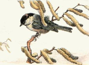 Tit Mouse (Restrike Etching) by Winifred Austen