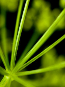 Green Cow parsley, close-up by Assaf Frank