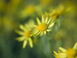 Daisy Flower, close-up by Assaf Frank