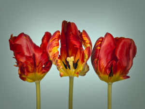 Three rococo tulips close-up by Assaf Frank