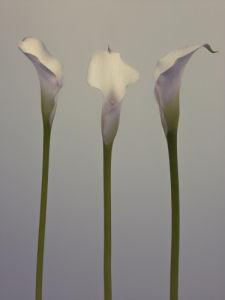 Three Calla Lily flowers by Assaf Frank