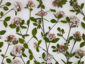 Close-up of Viburnum Juddii flowers and stems design, studio shot by Assaf Frank