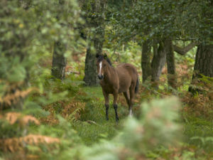 New Forest Pony by Assaf Frank