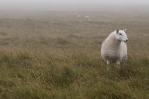 A Sheep standing on grass in mist by Assaf Frank
