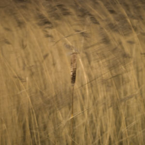 Reed plants close-up, abstract by Assaf Frank
