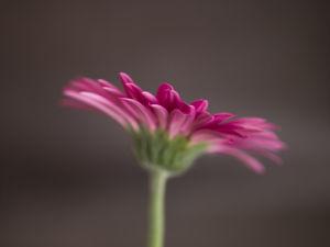 Close-up of pink Gerbera daisy by Assaf Frank
