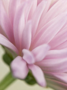 Close-up of Chrysanthemum flower by Assaf Frank