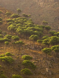 Pine trees on hillside at dusk by Assaf Frank
