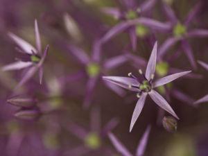 Purple allium flower, close-up by Assaf Frank