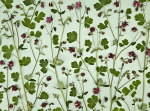 Close-up of Columbine Aquilegia flowers and stems in floral pattern by Assaf Frank